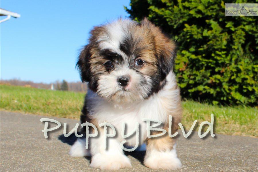 Gizmo Shih Tzu Puppy For Sale Near Hudson Valley New York