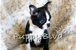 Picture of Cutest Boston Terrier AKC Female Puppy!