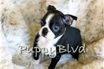 Picture of - AKC - Handsome Boston Terrier Boy!!
