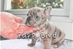 Bich-Poo - Bichpoo for sale