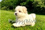 Picture of CUTEST Maltese Female Puppy for sale In NYC!!