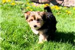 Picture of - Cutest - YorkChon Male PUPPY!