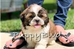 Shih Tzus for sale