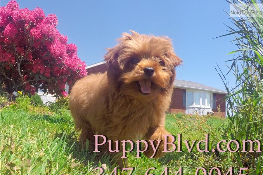 Chet Yorkiepoo Yorkie Poo Puppy For Sale Near Hudson Valley New