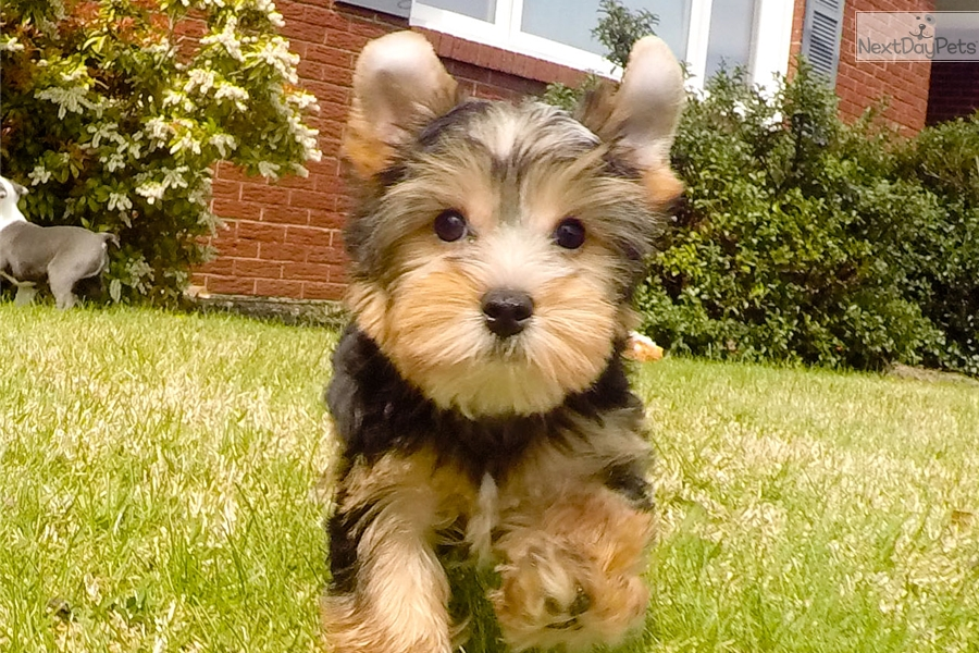 Megatron Yorkshire Terrier Yorkie Puppy For Sale Near Hudson