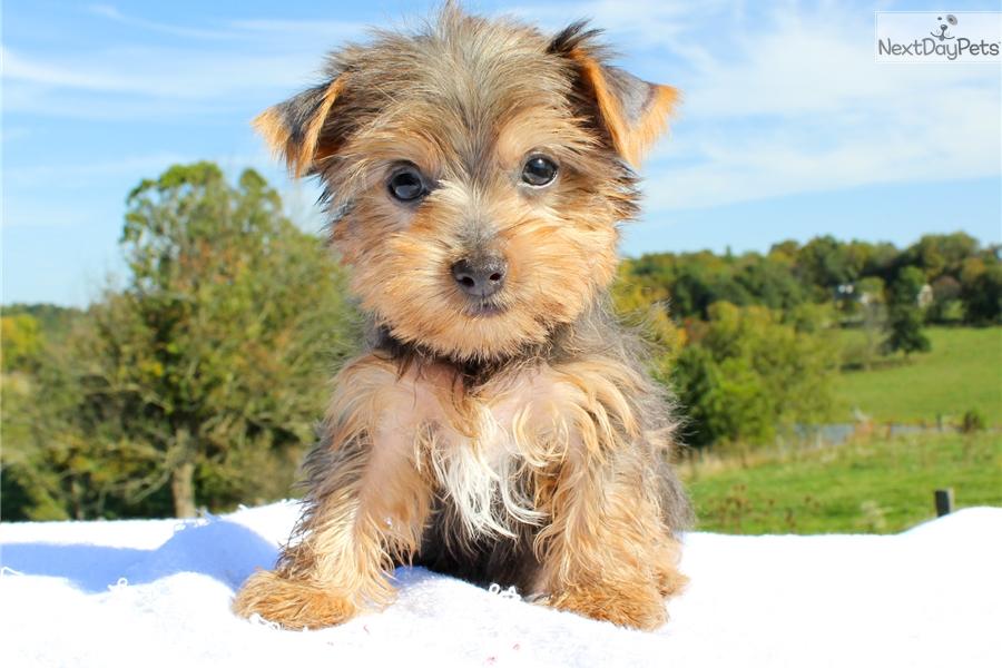 Peanut Yorkshire Terrier Yorkie Puppy For Sale Near Hudson Valley