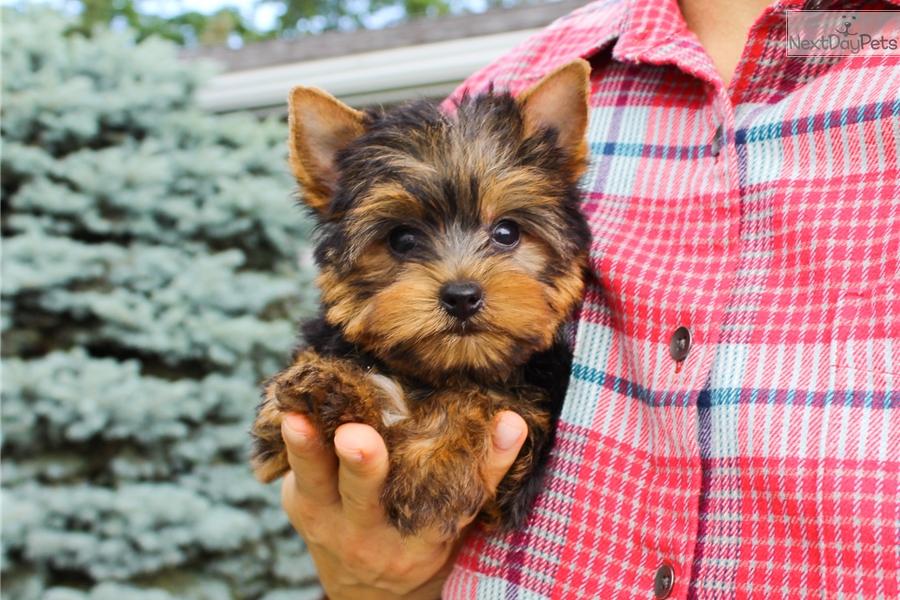 Peanut: Yorkshire Terrier - Yorkie puppy for sale near Hudson Valley