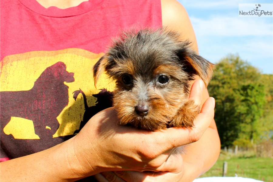 Buster Yorkshire Terrier Yorkie Puppy For Sale Near Hudson Valley