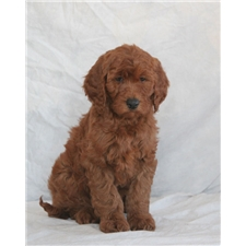 View full profile for Goldendoodlepuppies.Biz