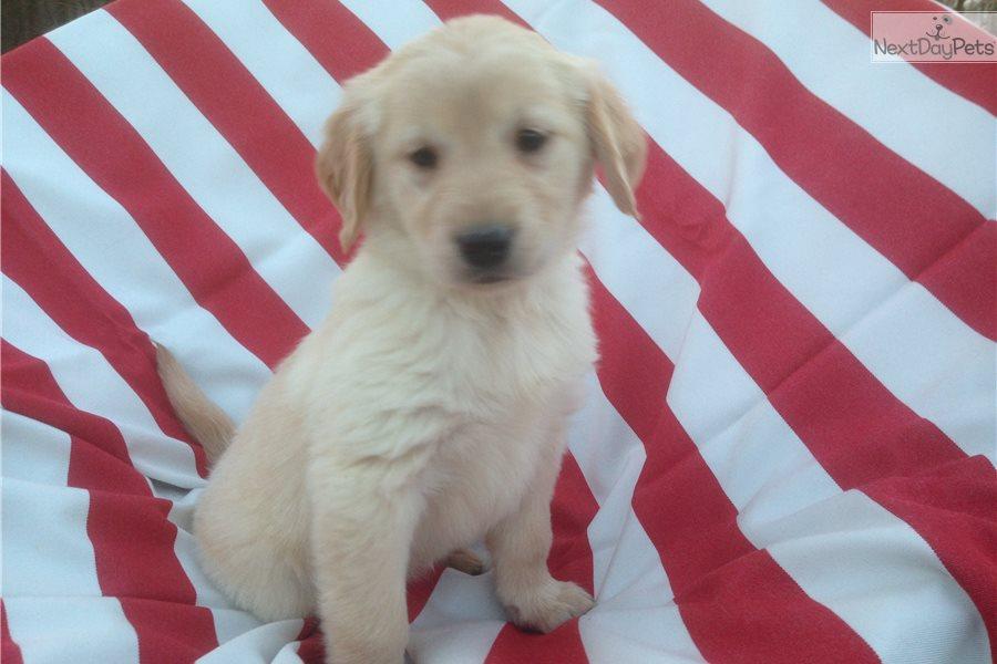 Golden retriever puppies for sale columbus ohio