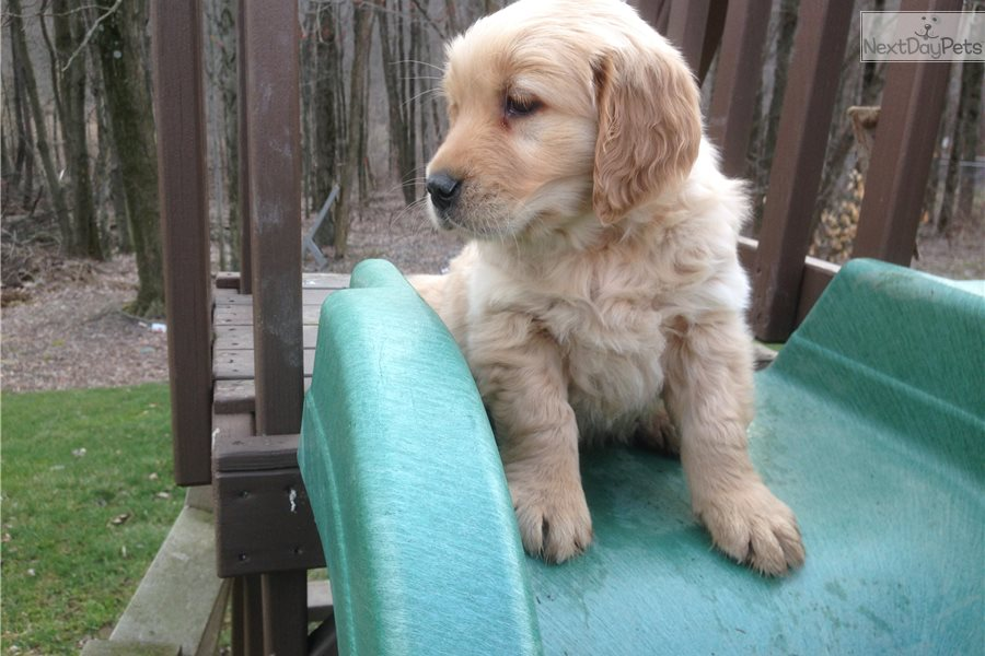 Golden retriever for sale columbus ohio