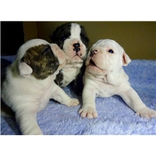 View full profile for English Bulldog