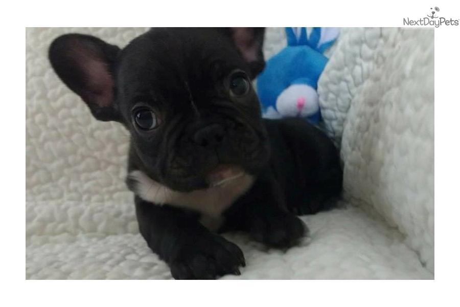 French Bulldog Puppy For Sale Near El Paso Texas F98c6a28 Ab21