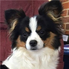 View full profile for Papillon Puppies
