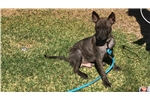 Picture of a Thai Ridgeback Puppy