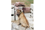 Picture of Vietnamese Phu Quoc Ridgeback Puppy