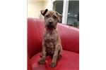 Picture of Vietnamese Phu Quoc Ridgeback Pup