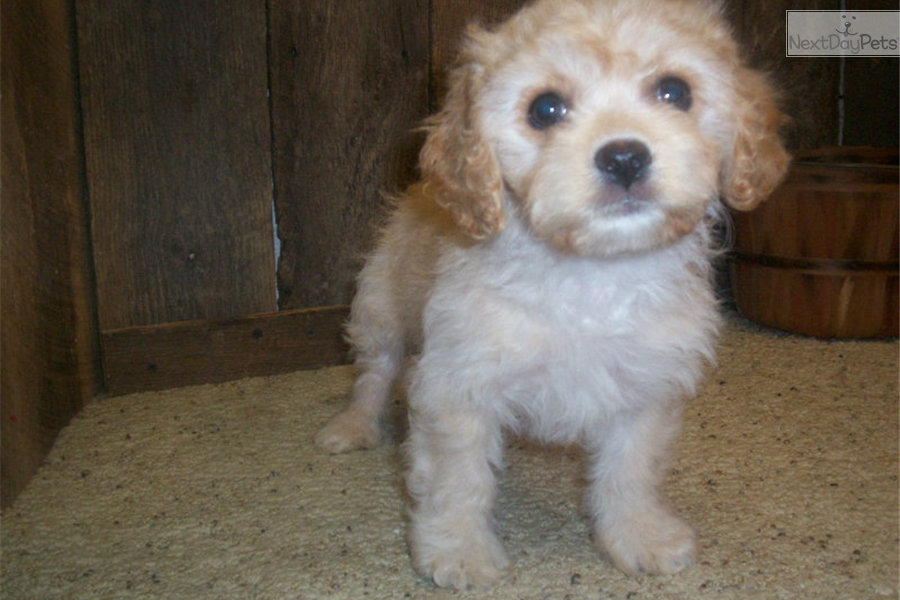 Learn These Cavachon Dogs For Sale Near Me {Swypeout}