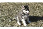 Picture of rolling hills malamutes