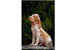 Picture of a Bracco Italiano Puppy
