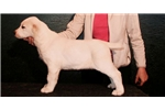 LATIFA - Beautiful puppy for exhibition/protection | Puppy at 45 weeks of age for sale