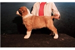 LUCRETIA Beautiful puppy for exhibition/protection | Puppy at 45 weeks of age for sale