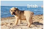 Picture of Irish  Sable Colored Olde English Bulldogge