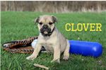 Picture of Clover Sable colored Olde English Bulldogge