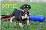 Picture of Dottie Black Tri Olde English Bulldogge