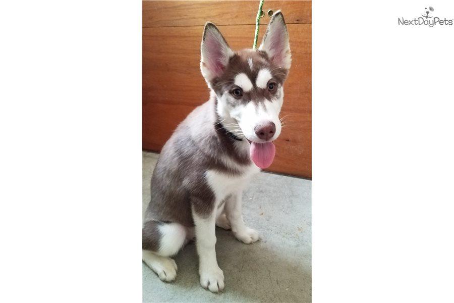 Kloe: Siberian Husky puppy for sale near Portland, Oregon ...