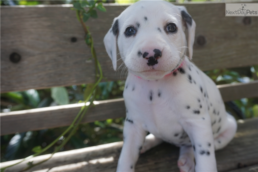 Noori Dalmatian Puppy For Sale Near San Francisco Bay Area
