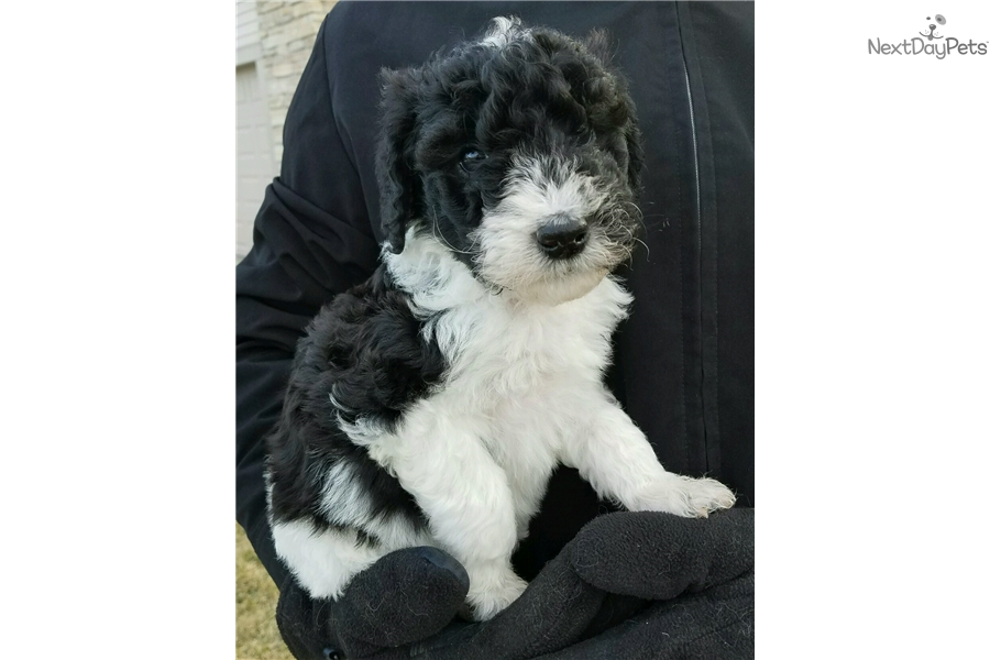 Puppies For Sale Rochester Mn