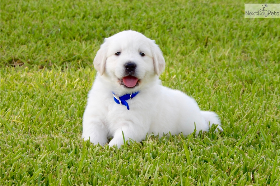Mr Blue English Golden Retriever Puppy For Sale Near Houston