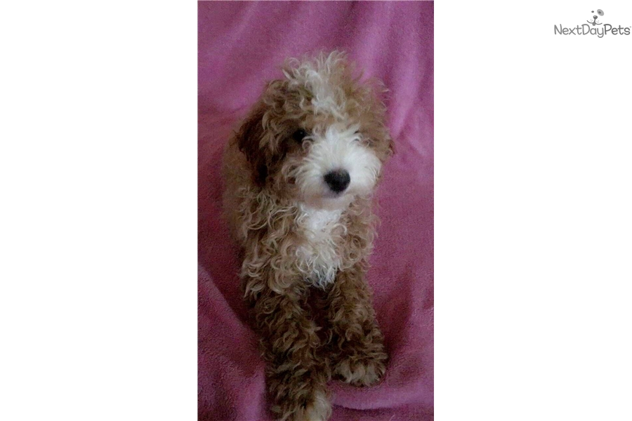 Teacup : Poodle, Toy puppy for sale near Los Angeles