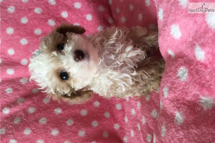 Teacup: Poodle, Toy puppy for sale near Los Angeles