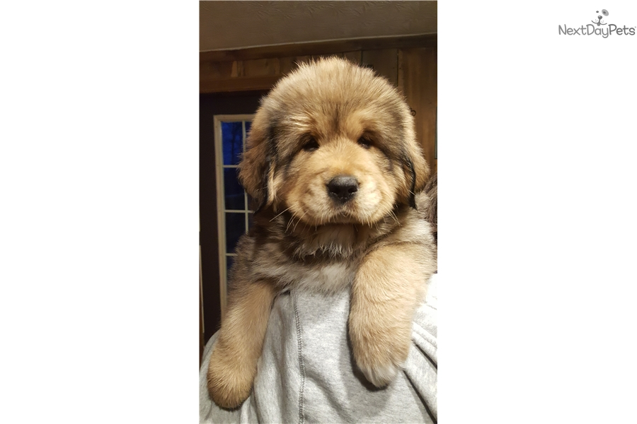 Yellow: Tibetan Mastiff puppy for sale near Lexington, Kentucky