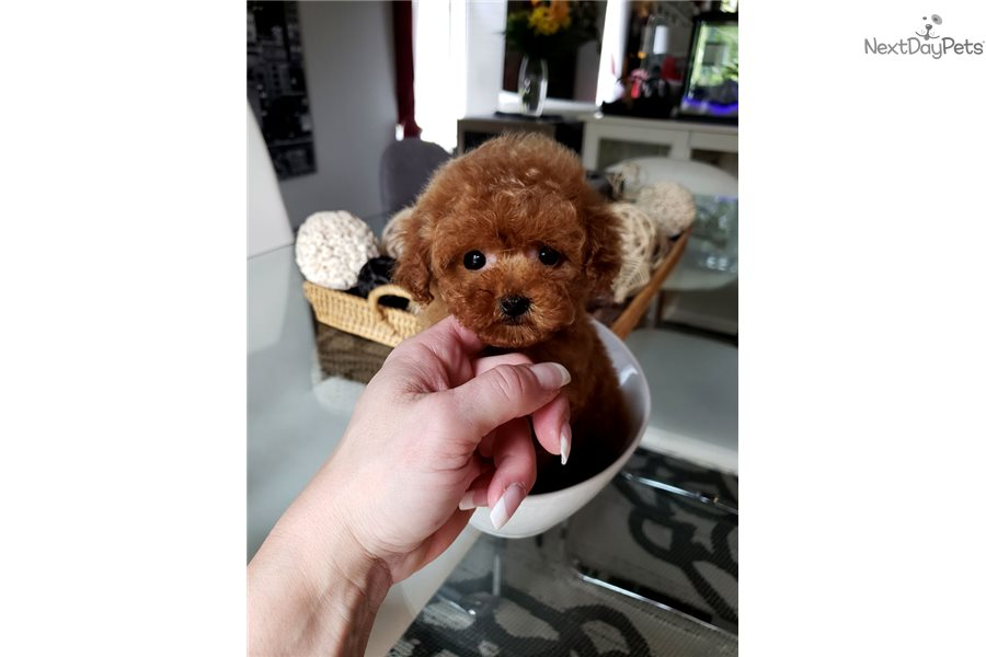 Poodle, Toy puppy for sale near Montreal, Quebec ...