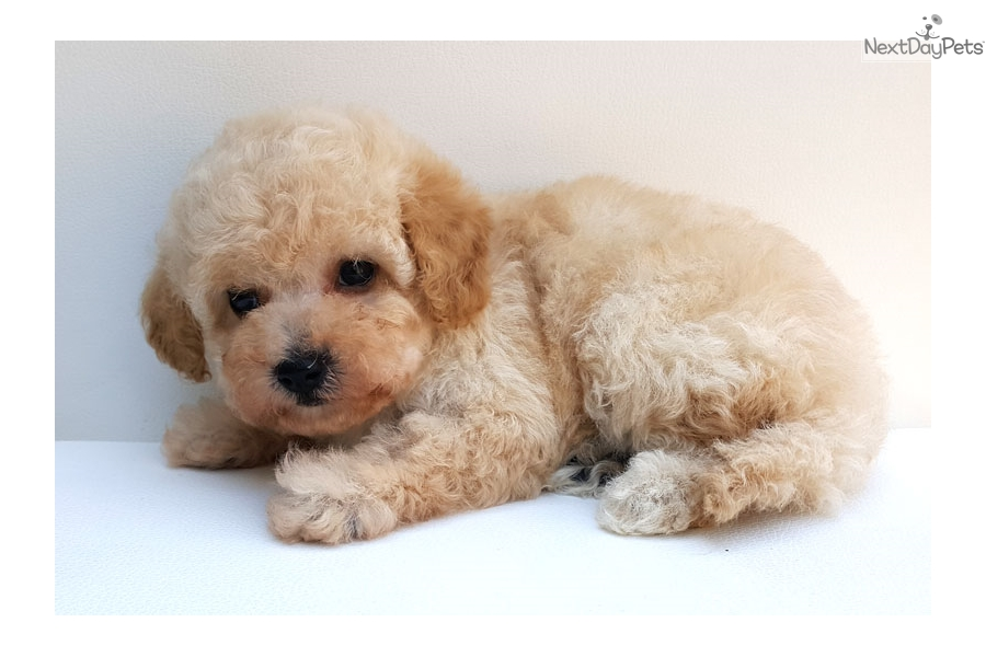 Gif: Poodle, Toy puppy for sale near Montreal, Quebec | f05bc520-b211