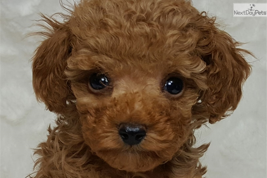 Toy Poodle For Adoption Montreal | Wow Blog