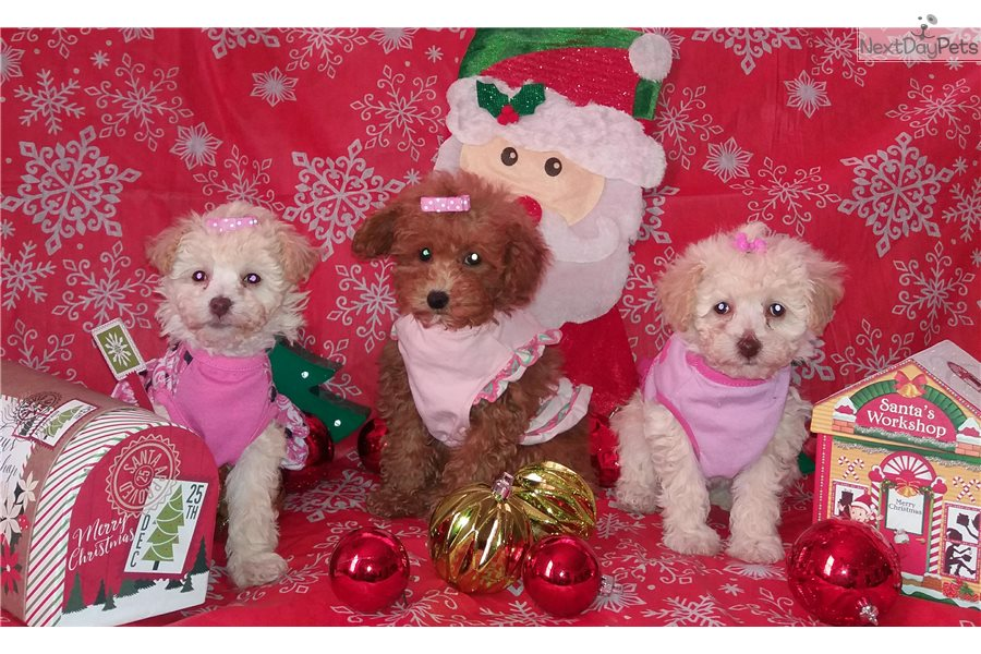 Malti Poo - Maltipoo puppy for sale near Chicago, Illinois