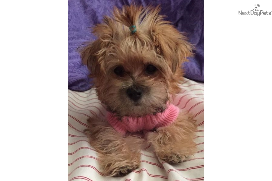 Baby Sophie: Morkie / Yorktese puppy for sale near Dallas