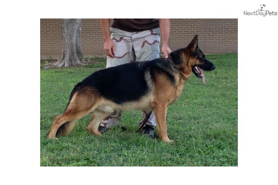 Female 1 German Shepherd Puppy For Sale Near San Antonio Texas