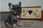 Miniature Bull Terrier for sale