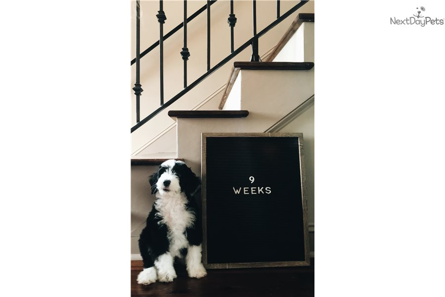 Picture of a Sheepadoodle