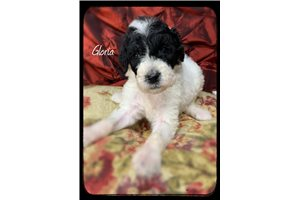 Shepadoodle Puppies For Sale From Reputable Dog Breeders