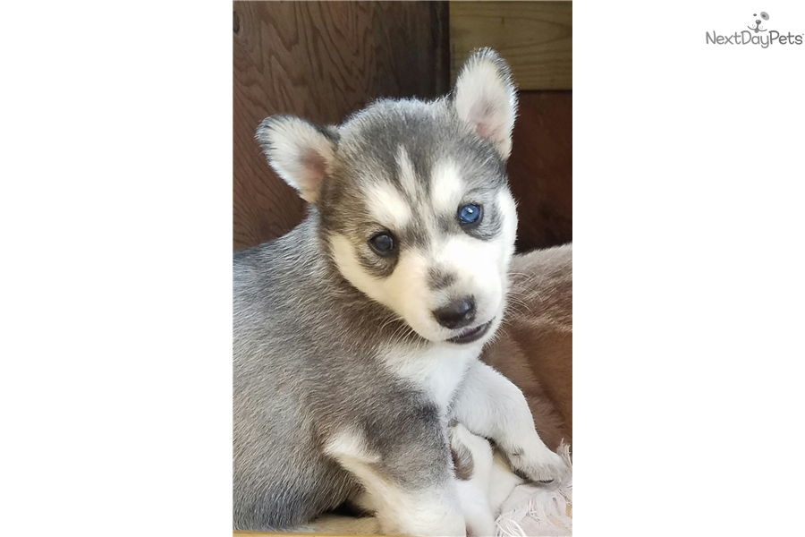 Pomsky puppies for sale houston