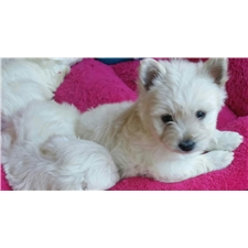 View full profile for Forever Westies