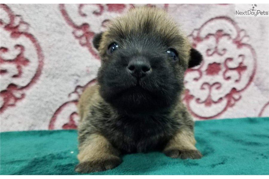 Nellie: Norwich Terrier puppy for sale near Joplin ...