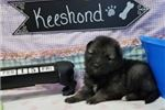 Keeshonds for sale