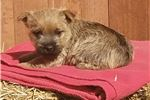 Norwich Terrier for sale